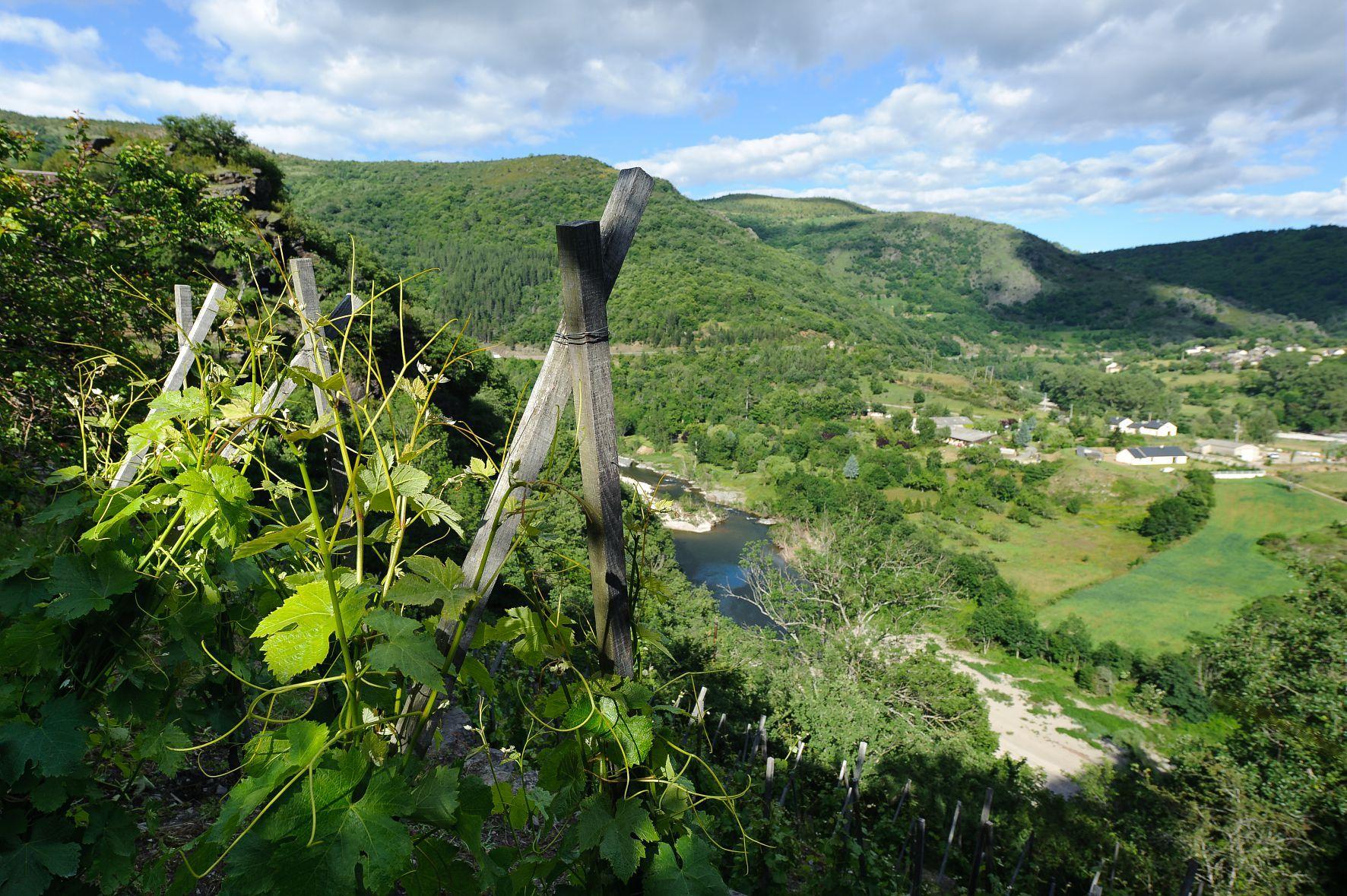la vigne a Ispagnac
