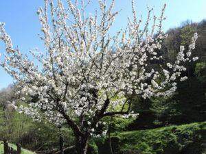 Cerisier à Lonjagnes