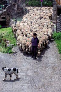 le troupeau traverse le village